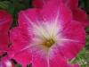 bakungpink_closeup.jpg