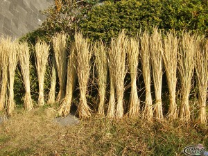 Dried rice grass
